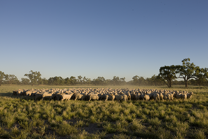 Merino sheep flock wool at Tolarno