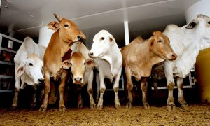 Darwin cattle on ship bound for Indonesia