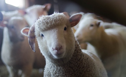 A sheep looking forward, surrounded by other sheep