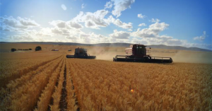 Harvesting a wheat field