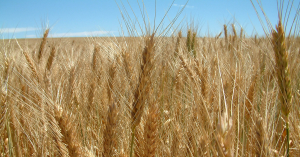 Close shot of a grain field