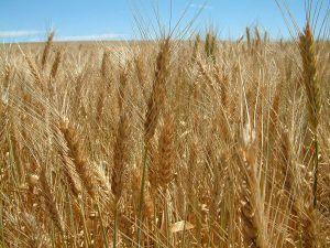 Golden wheat heads in paddock
