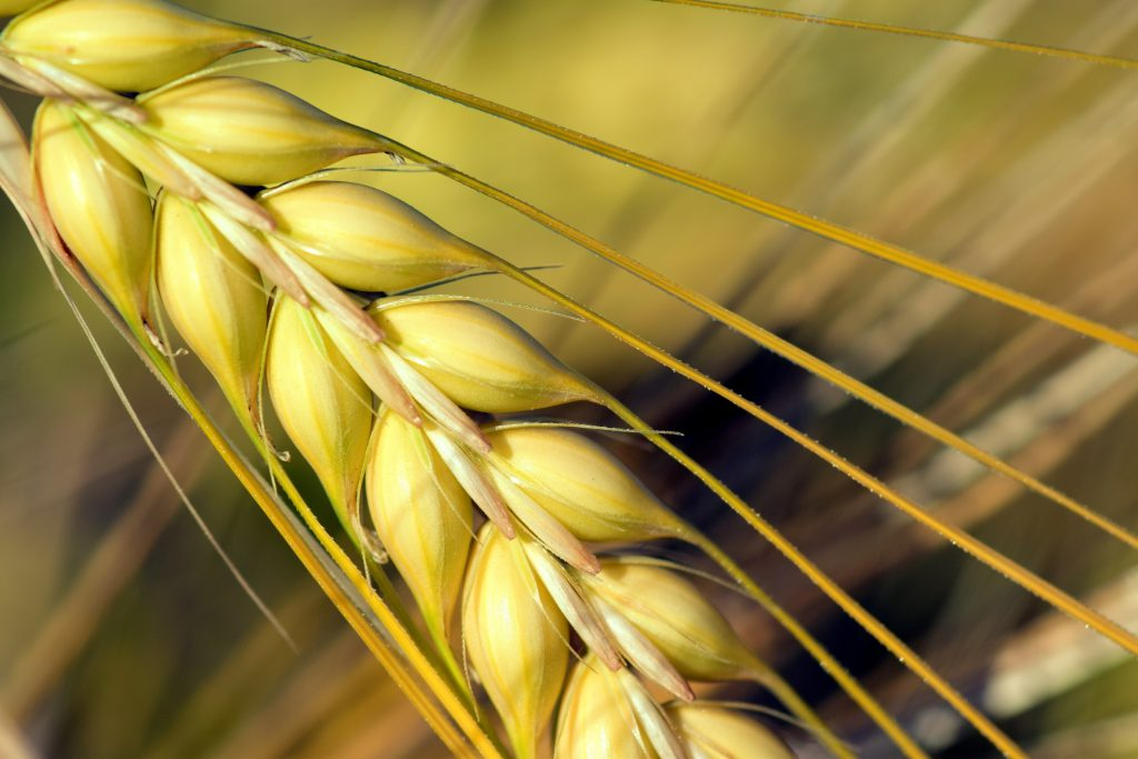 Close up image of barley head