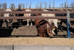 Cattle in feedlot eating grain