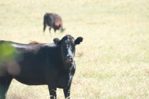 Angus cattle in dry paddock