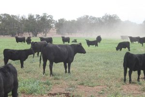 Angus cattle in fog