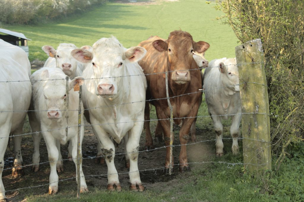 young cows behind fence