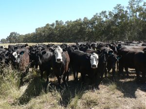 Multiple angus cattle