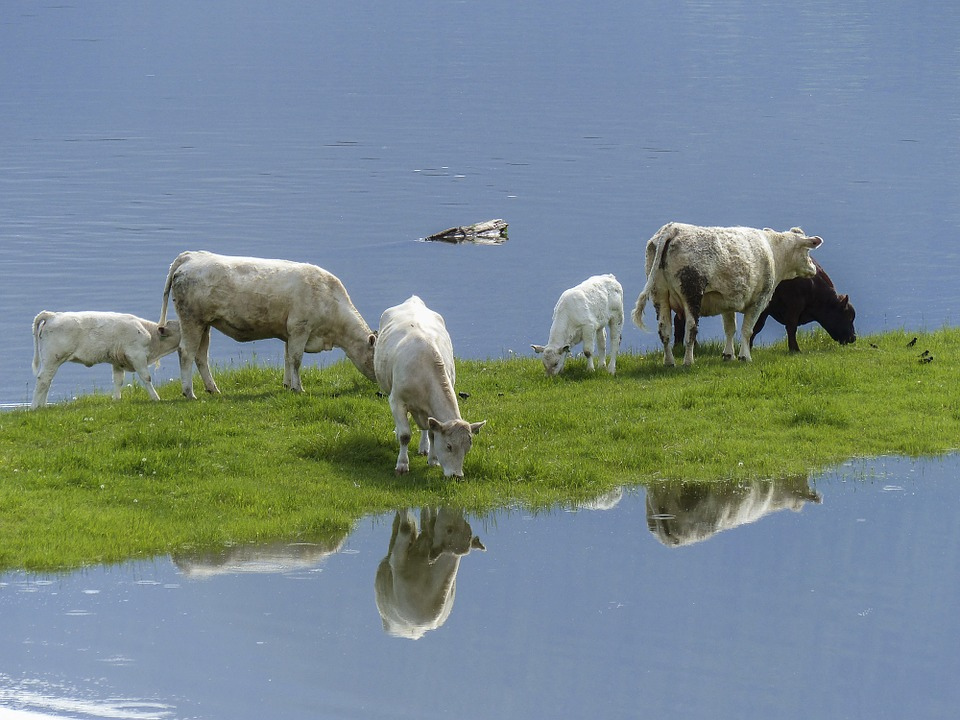 Cattle of a flooded field