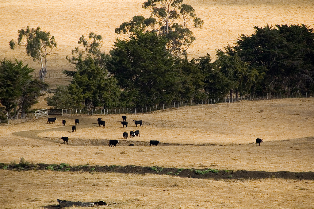 Cattle in the distant on a farm