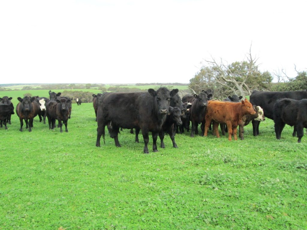 Southern cattle in paddock