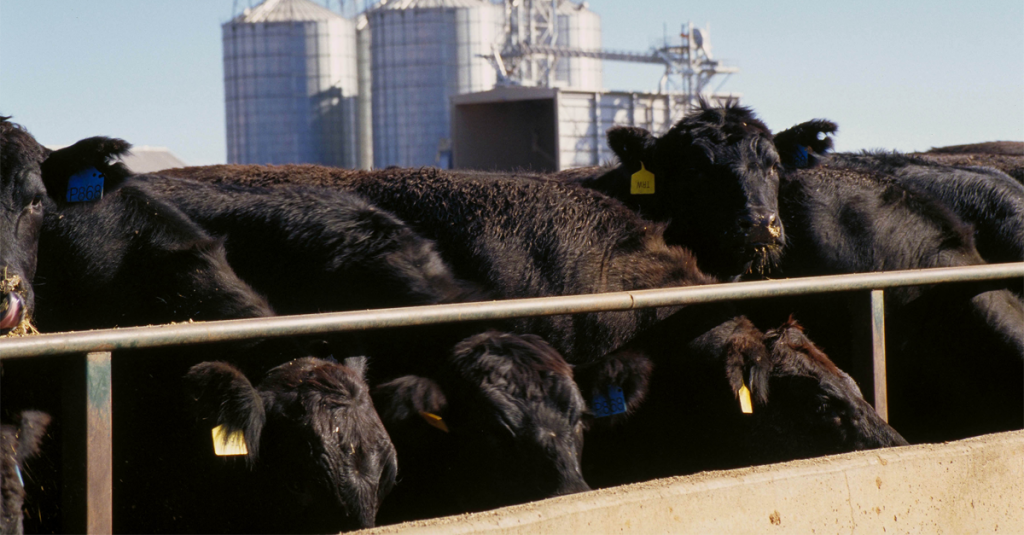 Cattle feeding from a trough