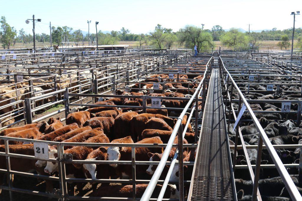 Cattle in a sale yard