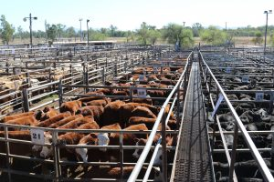 Cattle in a sale yard