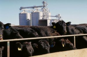 Black cattle in a feedlot