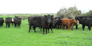Mixed southern cattle in very green paddock