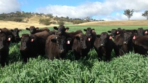 Wagyu cattle in field