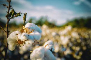 Cotton crop in field