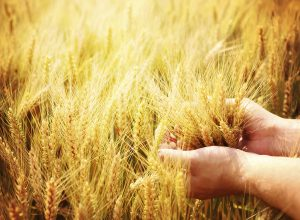 Wheat being held