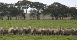Lambs in grassy paddock