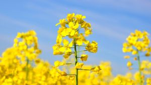 Canola plant in flower