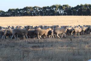 Lambs running in paddock