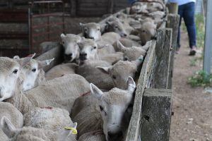 Sheep in a race