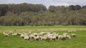 Wide shot of sheep in a field