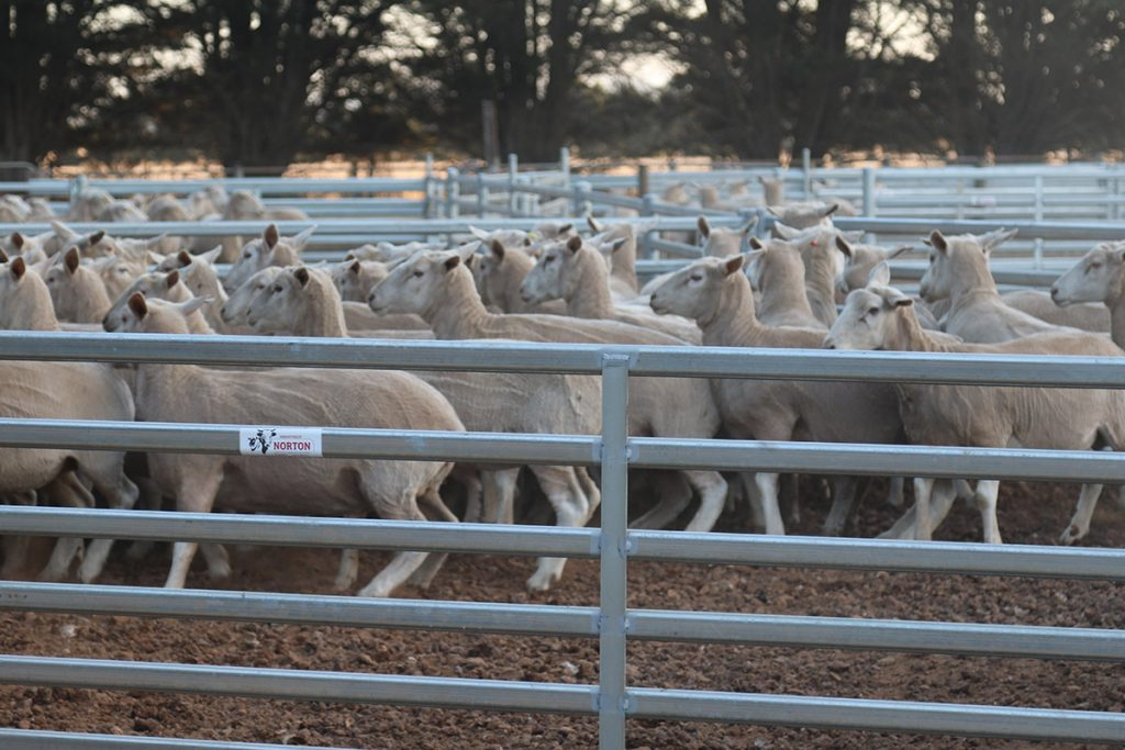 Multiple sheep in sale yard