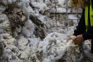 Wool being inspected