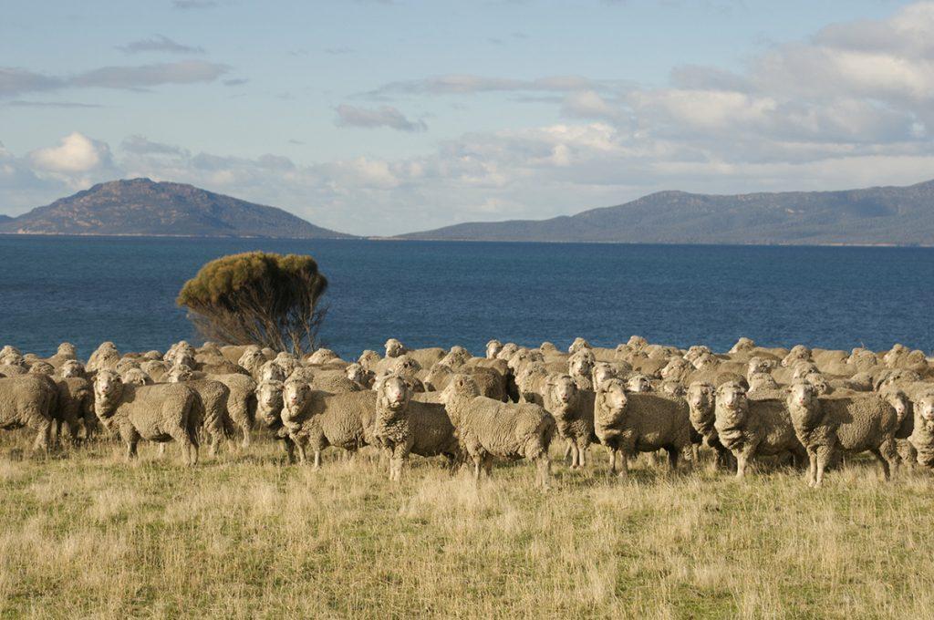 Merino sheep in Tasmania