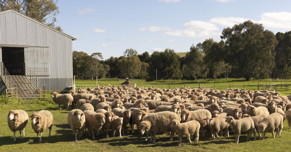 Wool sheep in front of shed