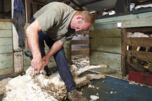 Man shearing a sheep in a shearing shed