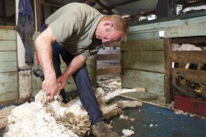 Man shearing a sheep in a shearing shed