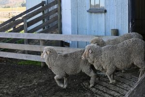 Merino running from shed
