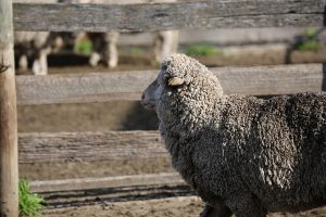 Merino sheep in front of gate