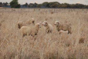 Merinos in a dry paddock