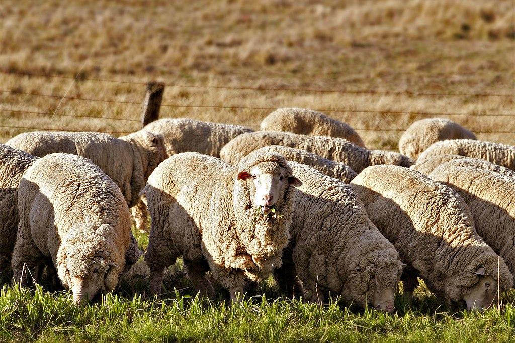 Merino wool sheep grazing