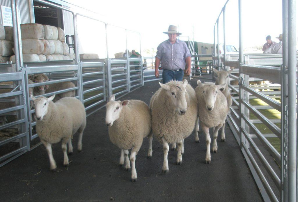 Wool sheep moving through yards