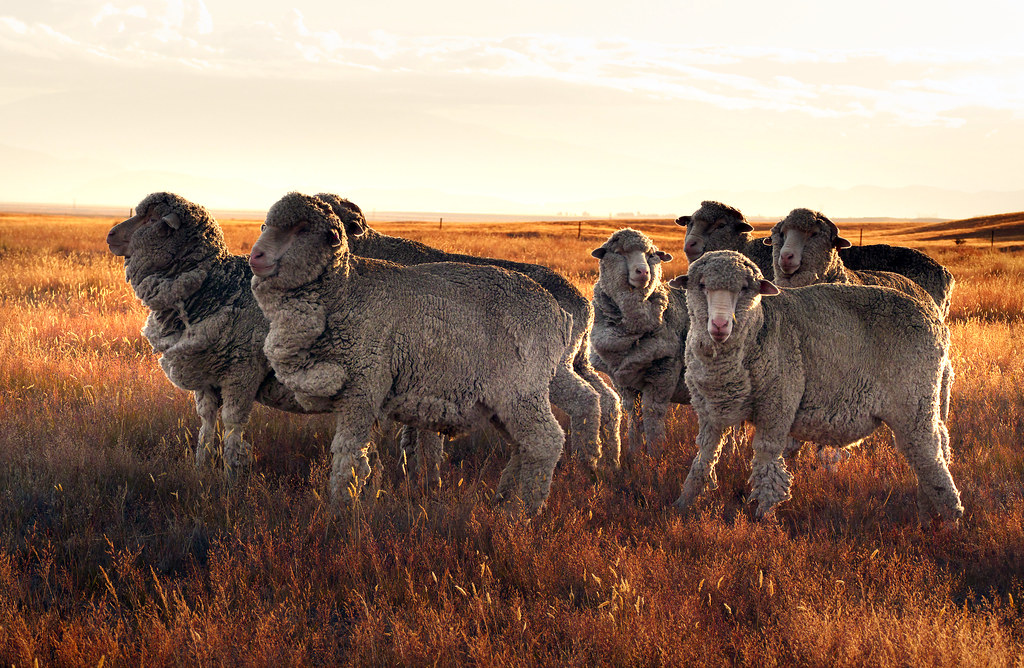 Merino sheep in sunset