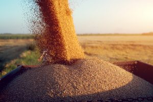 Image of harvested grain pouring into a chaser bin