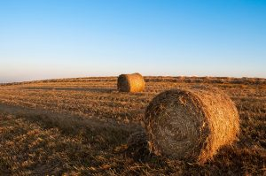 Round hay bales in field- feed