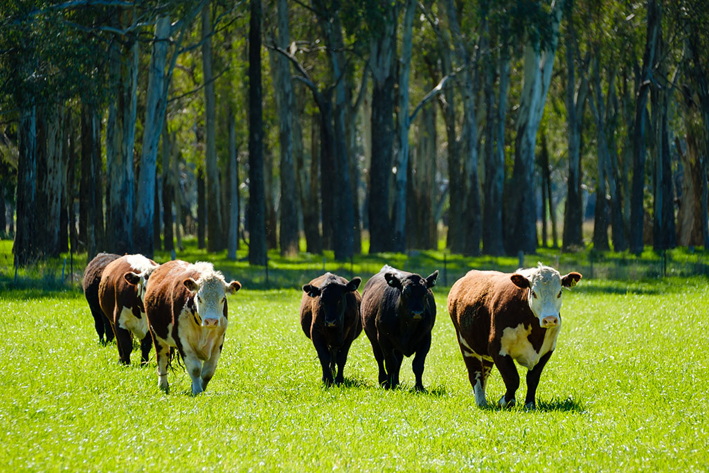 Hereford cattle walking on green pasture