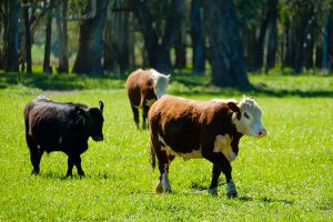 Three cattle on grass