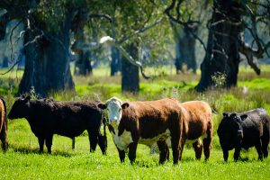 Hereford cattle in green paddock