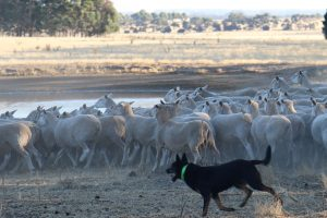 Sheep being herded by cattle dog