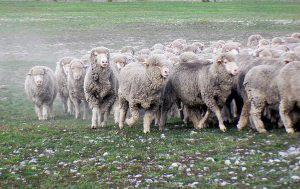 Wool sheep running in paddock