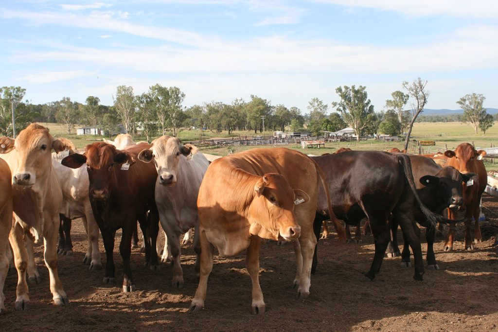 Queensland cattle in yard