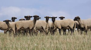 Sheep flock in paddock
