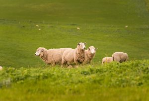 Sheep in green hilly paddock